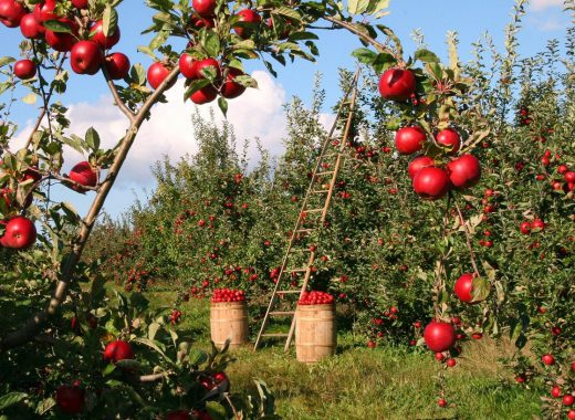 apple-1873078_1280-520x380